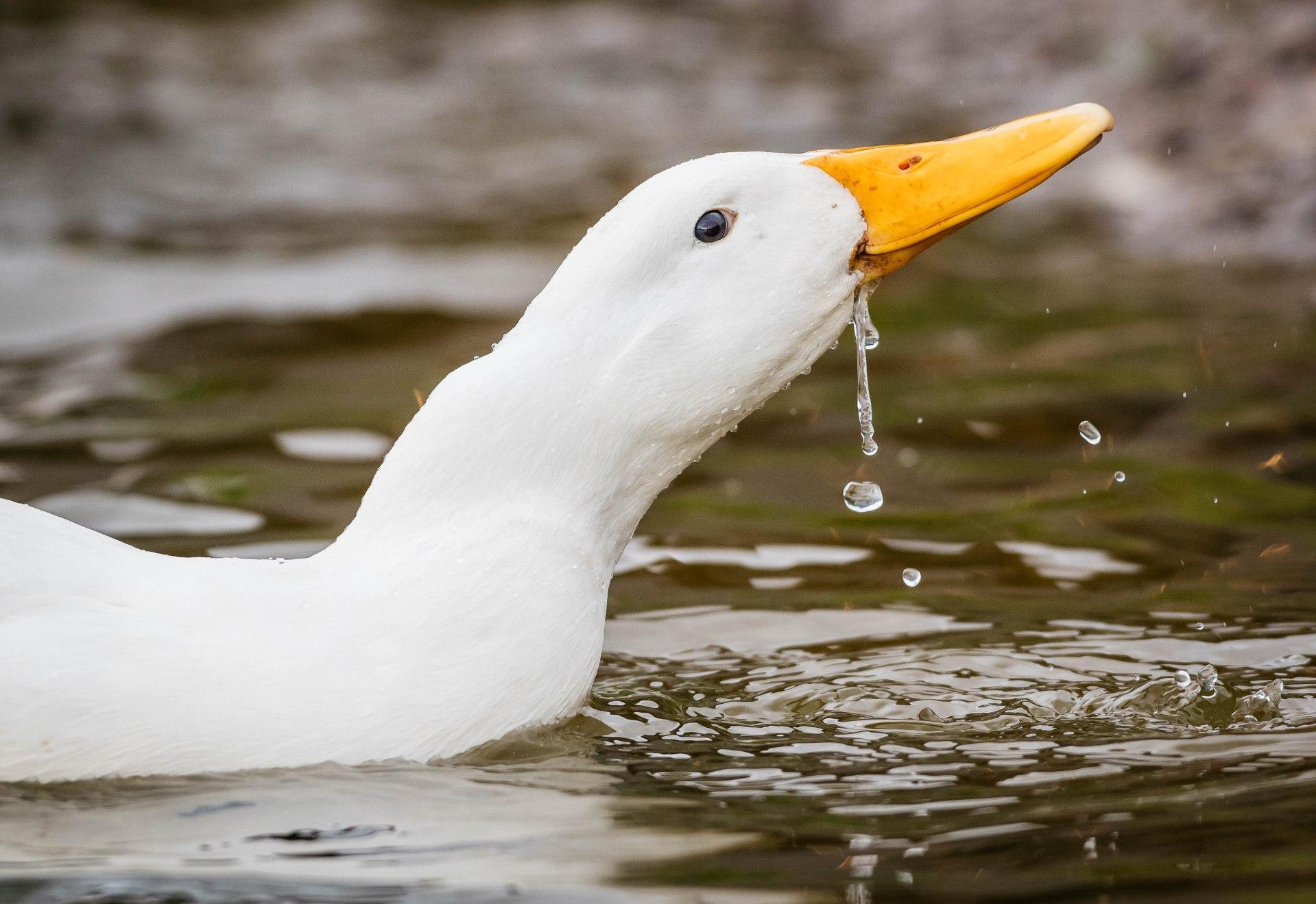 duckedit-4
